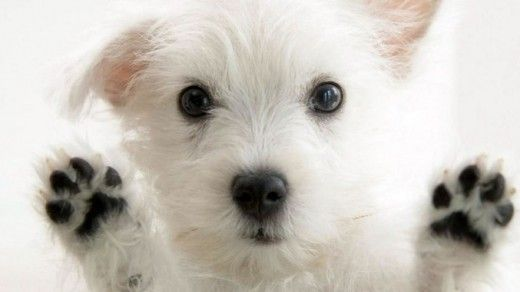 Cute Little White Dog