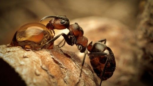 ant-drinking-water-Astonishing Random Facts About Ants
