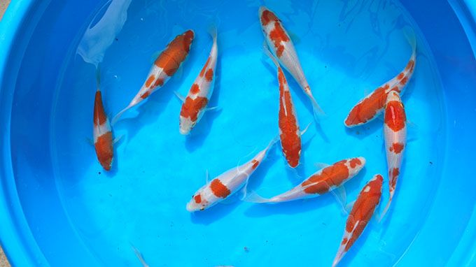 Understanding koi fish color meaning lifedaily for Koi fish family