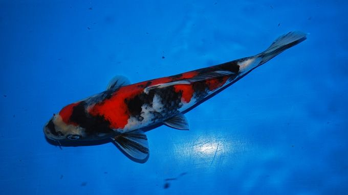 Showa fish for Koi fish color meaning chart