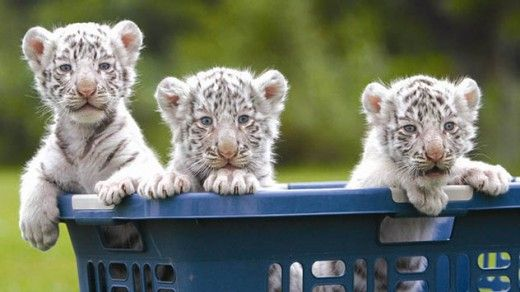 Which Is The Cutest Animal In The World Baby-tiger