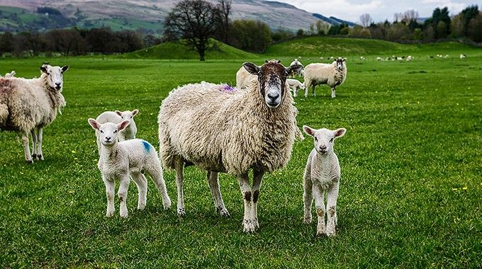 Lambs-Sheep-Yorkshire-Ireland