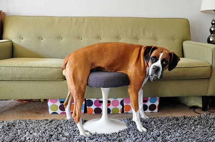 Dog stuck on a stool