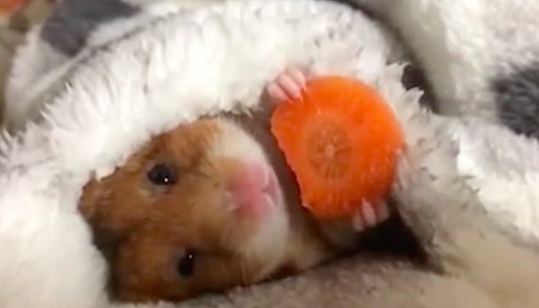 While Wrapped in a Blanket, Adorable Hamster Snacks on a Carrot
