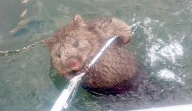 Fishermen Save an Adorable Wombat From Drowning in a Lake