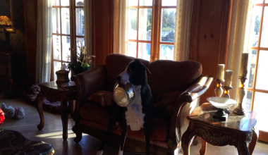 Hysterical Great Dane Has A Not-So-Subtle Way Of Telling Dad She's Hungry