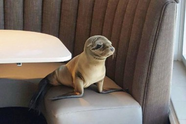 Hungry Sea Lion Pup Is Rescued After Taking Shelter In Restaurant Booth