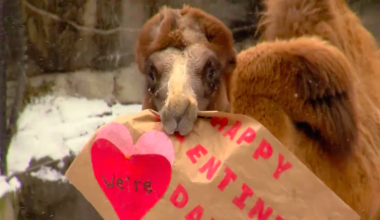 Camels Make An Adorable Valentine's Day Announcement…Then Eat It