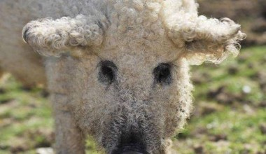 This Sheep Look-Alike Is Actually An Adorable Furry Pig!