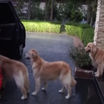 Obedient Golden Retrievers Wait In Line To Have Their Paws Cleaned