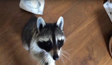 Precious Raccoon Lovingly Takes Care of Her Sick Mom