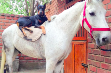 Doberman And Horse Share An Inseparable Bond